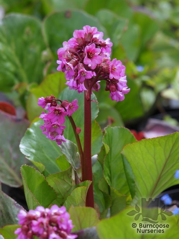Common Garden Flowers 106 best gf - bergenias - common name pigsqueak images on