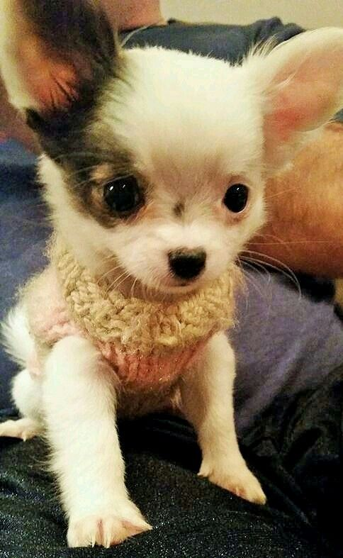 126 Best Tea Cup Chihuahua Images On Pinterest Doggies