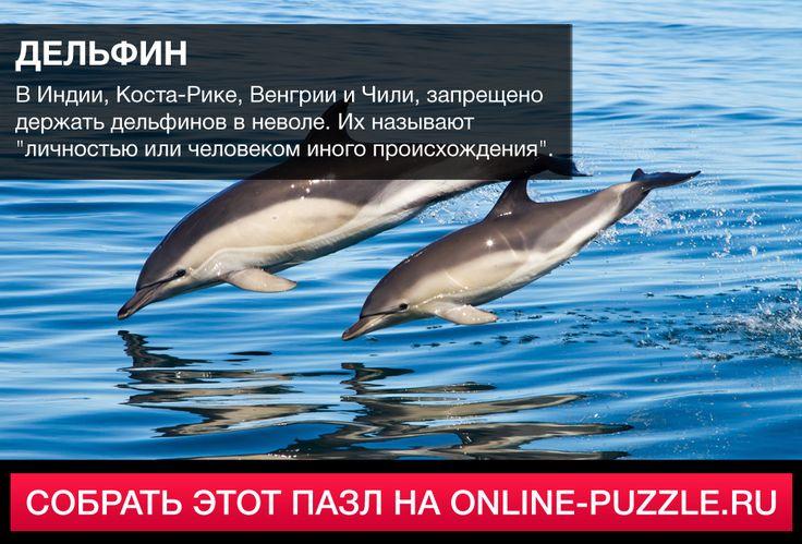 """В Индии, Коста-Рике, Венгрии и Чили, запрещено держать дельфинов в неволе. Их называют """"личностью или человеком иного происхождения"""". #пазл #играонлайн #интересныефакты"""