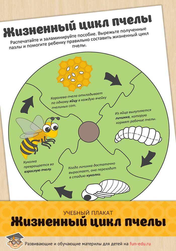 Учебный плакат поможет понять сколько живет пчела медоносная и объяснит цикл развития от зарождения до гибели. Рекомендуется повесить плакат над столом.