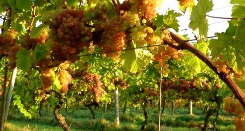 OATLEY VINEBLOG: Kernling grapes 2 weeks before harvest. 11 October 2014