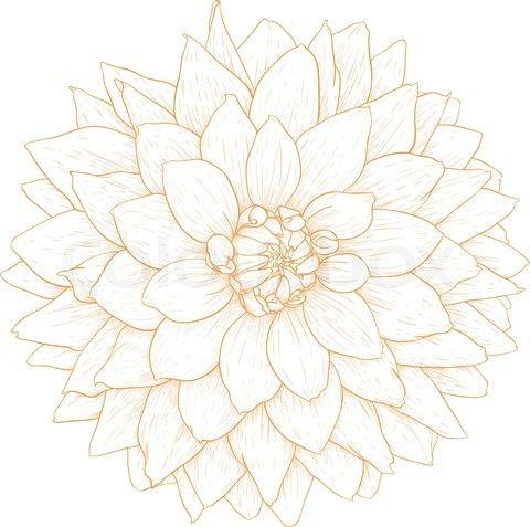 dahlia drawings | Stock vector of 'Vector dahlia flower'