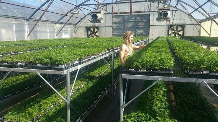 Zack is nurturing #CharlottesWeb #hemp plants #WhyCW #Cannabinoids #Health #plants #nutrition #wellness #colorado #natural