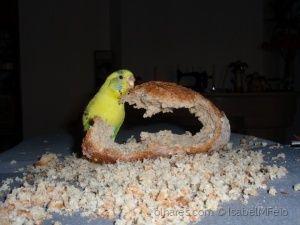 budgie BIBINHA-Animais/Migalhas de pão e a Bibinha