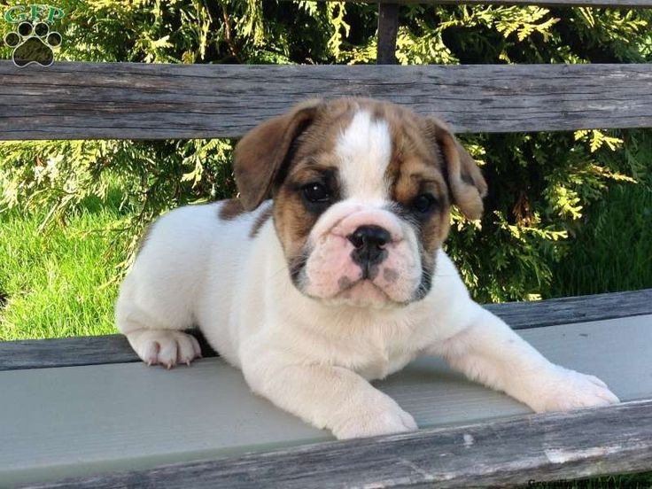 Beabull puppies for sale in pa our new puppy