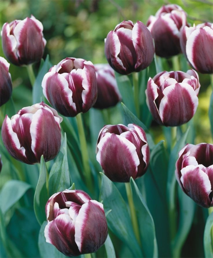 Triumph Tulip Jackpot--A phenomenal color breakthrough, Jackpot is a lush, full flower in a special, dark mahogany-grape color with brilliant white petal edges and a bit of a white base. Jackpot is a must-have, sultry beauty.