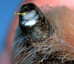 CLIPPING YOUR DOG'S CLAWS | Washington State University | homogenous gray to pink oval on the top of the cut nail surface