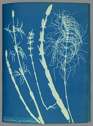 Anna Atkins woodhorsetail cyanotype - Anna Atkins — Wikipédia