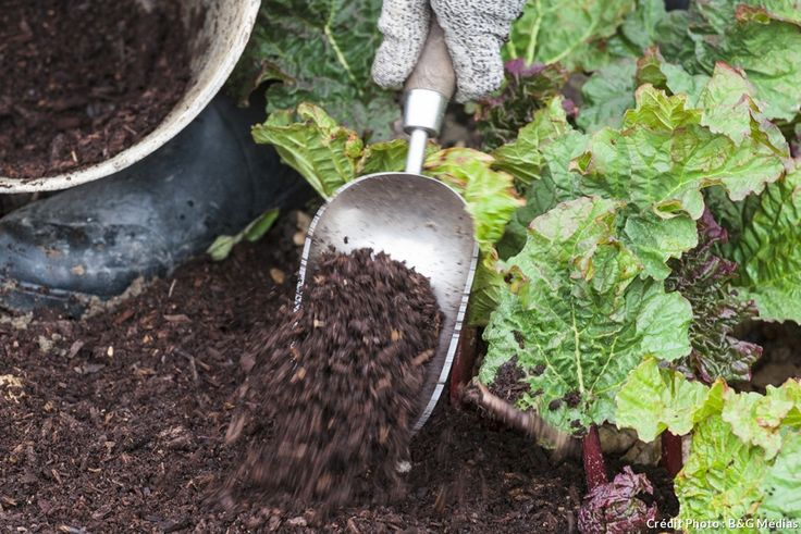 compost au pied de la rhubarbe