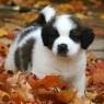Cute!! St Bernard Puppy