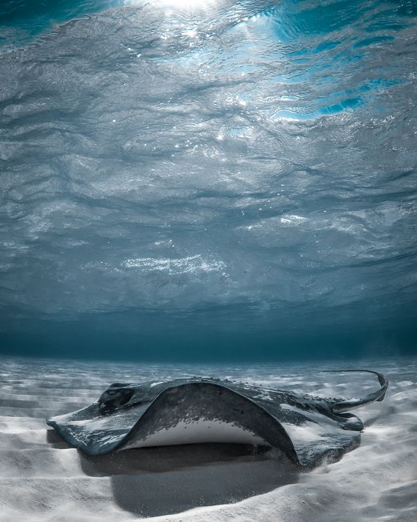 A stingray (Dasyatis americana) glides over the sea floor in the shallow waters of Grand Cayman.