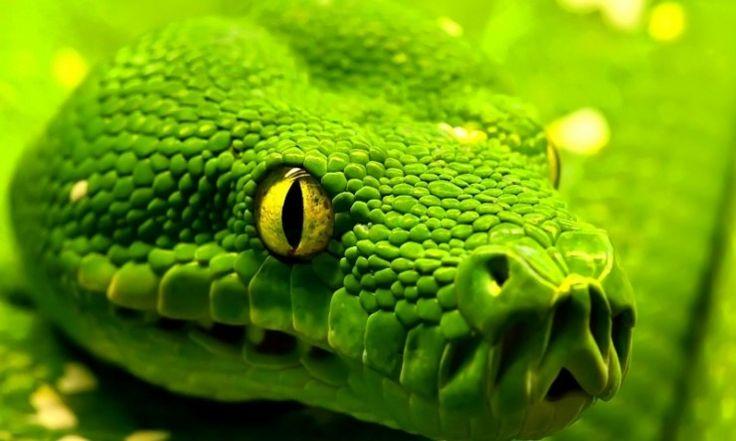 serpiente-nombres-viboras-venenosas