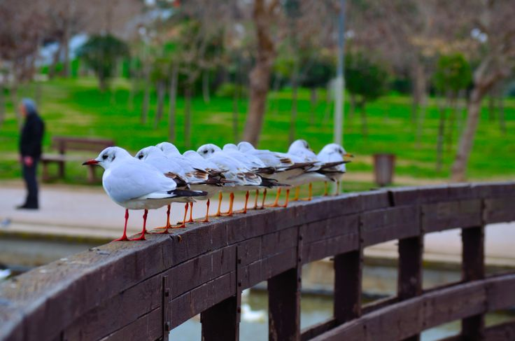 Seagulls in Tritsis Park. (Walking Athens, Route 30 - Tritsis Park)