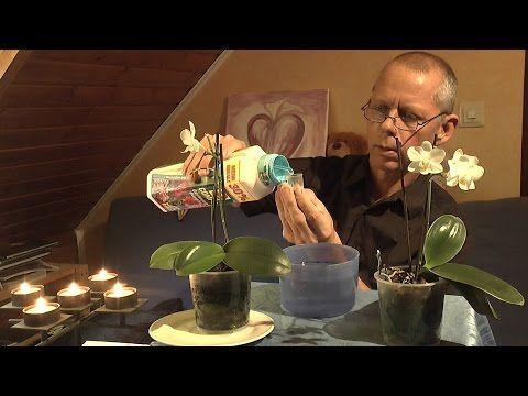 Orchideen Pflege - Phalaenopsis Teil 1 Zimmerpflanzen - YouTube