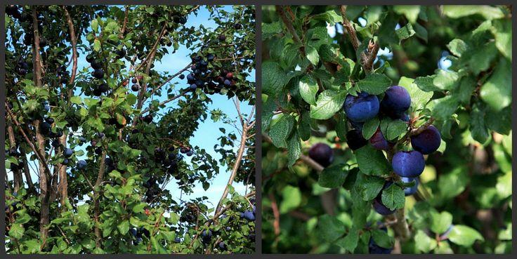 Picnik collage plums