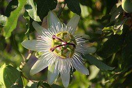Цветок Страсти, Пассифлора, Восхождение
