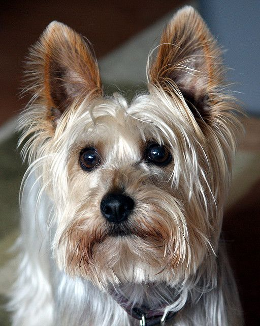 Hannibal the Silky Terrier by Michael Letour, via Flickr