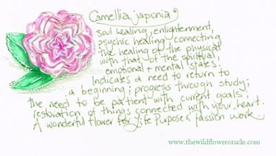 Camellia japonica These are the Signature Sketches from my daily journal that I create as I'm researching my new Oracle Decks and Books. I'm happy to share them with those who connect with my work