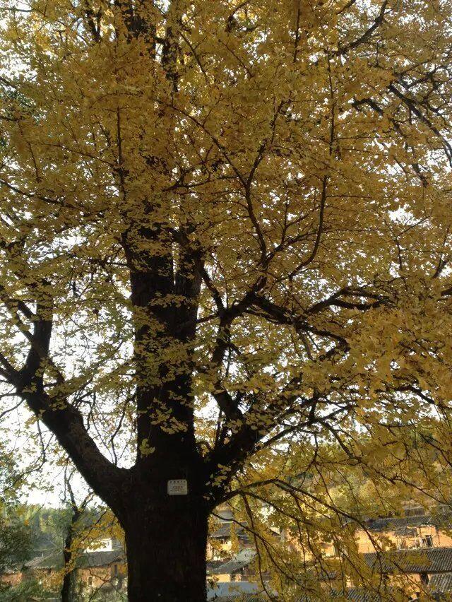 Ginkgo tree 02