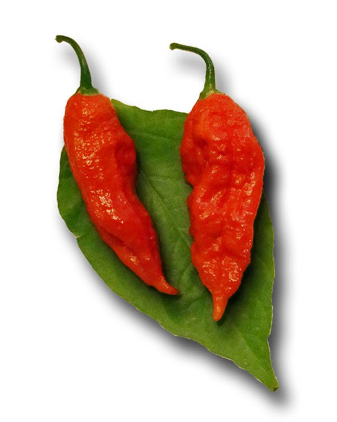 Bhut Jolokia Ghost Chile – these are the best tasting super hot pepper seeds for you spice lovers! Get them at: http://www.sandiaseed.com/products/bhut-jolokia-ghost-chile