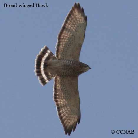 The Broad-winged Hawk (Buteo platypterus) is a small hawk of the genus Buteo. During the summer some subspecies are distributed over eastern North America, as far west as British Columbia and Texas; they then migrate south to winter in the neotropics from Mexico down to southern Brazil.