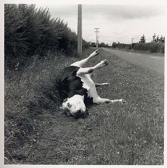 Peter Peryer, 'Dead Steer', 1987