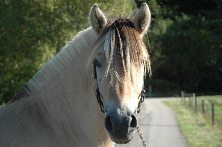 Raspresentation-Paint Horse - Horse Breeds - cold blooded iFokus