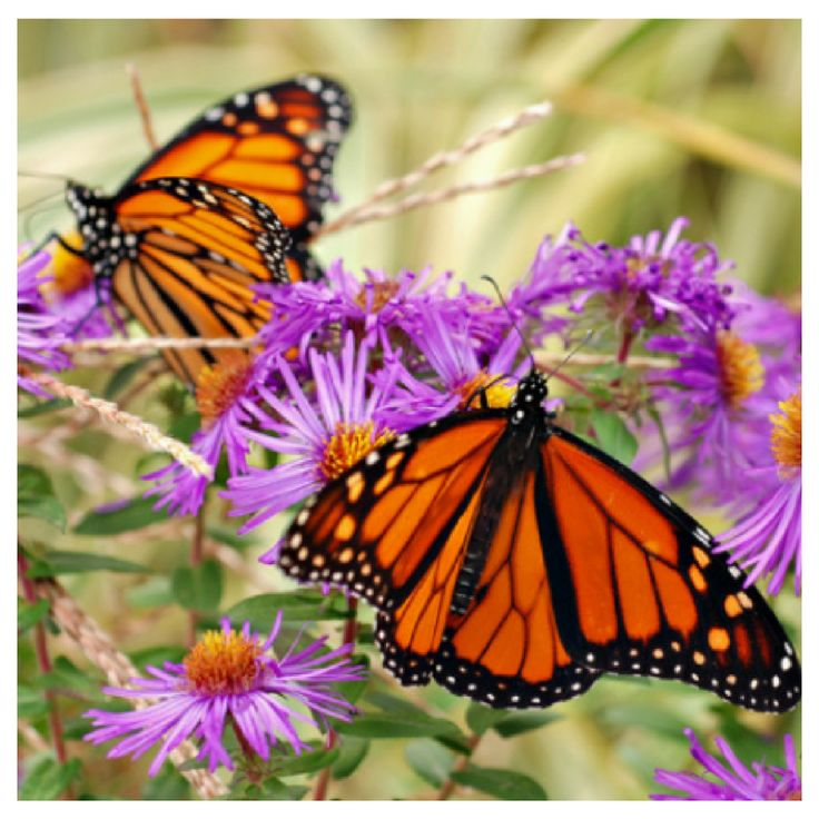 Are Asters on your list of butterfly garden plants for 2018? What butterfly nectar-plant favorites are you most excited to try in your garden for the first time?