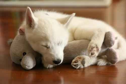 This little puppy cuddled with her favorite toy: | 20 Puppies Cuddling With Their Stuffed Animals During Nap Time