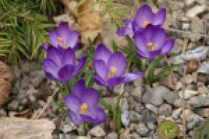 Dopasuj zdjęcia wiosennych kwiatów w pary.