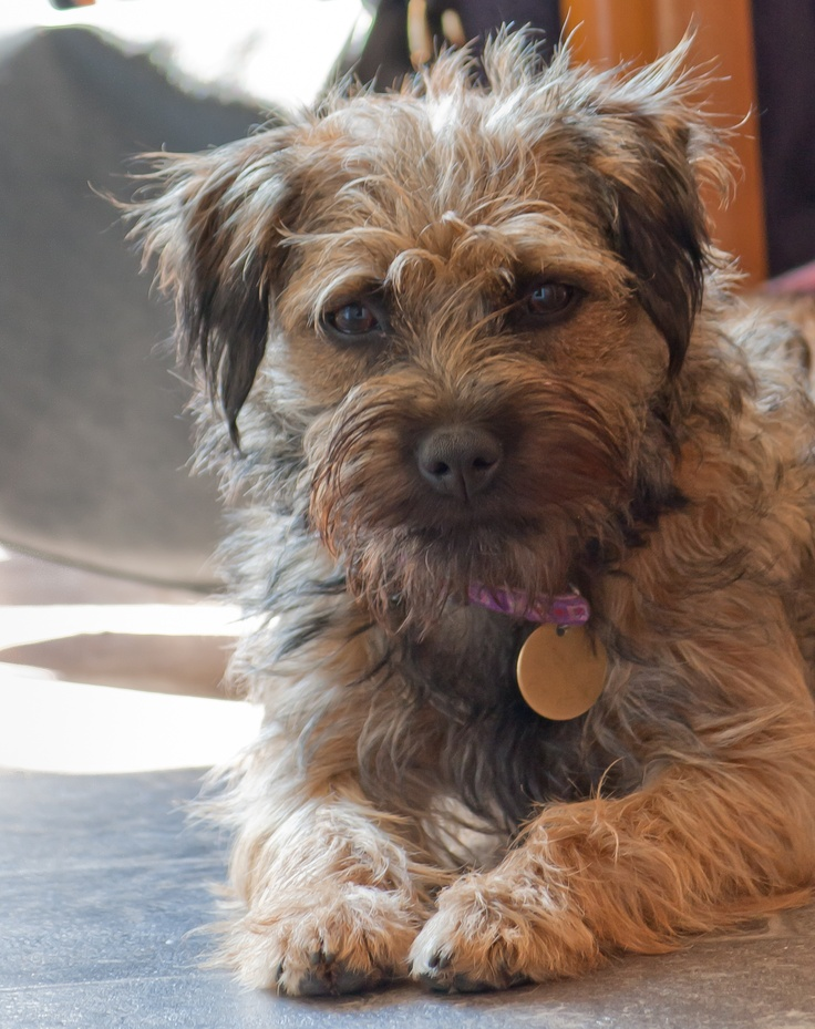 Idea by Amber May on Animal in 2020 Border terrier
