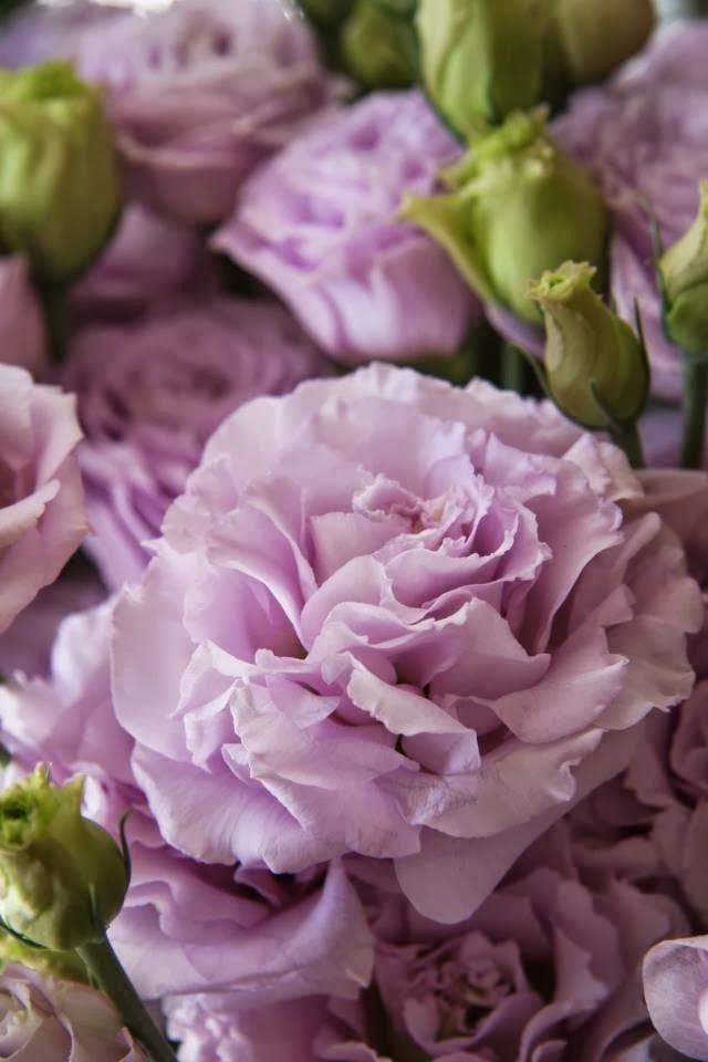 Eustoma Lisianthus~ 'Rosina Lavender'