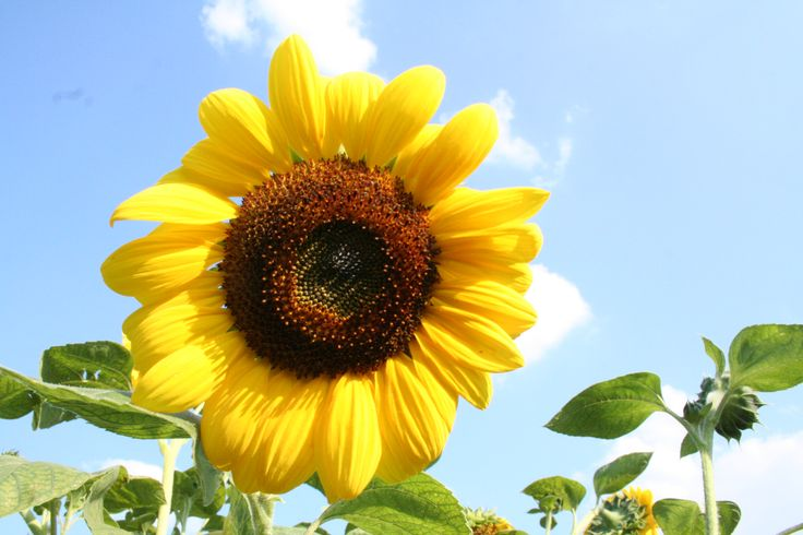 Sunflower in Gers, France