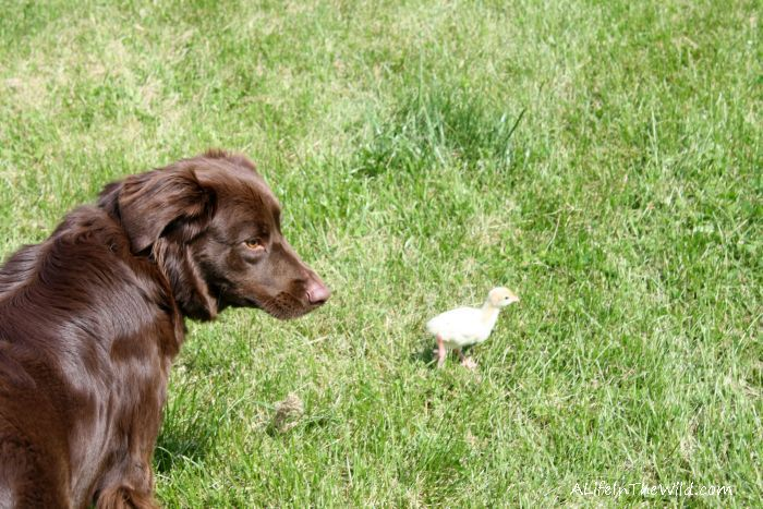 Poults Raising Turkeys On The Homestead Labrador Retriever Labrador Retriever Puppies Losing A Dog