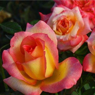 Royal Welcome Hybrid Tea Rose
