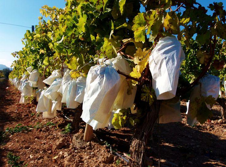 Uva del Vinalopó, Novelda http://ruta96.wordpress.com/2013/12/23/oro-parece-uvas-son/