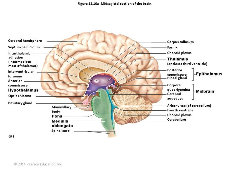 7 Best Brain Images On Pinterest Brain Anatomy The Brain And