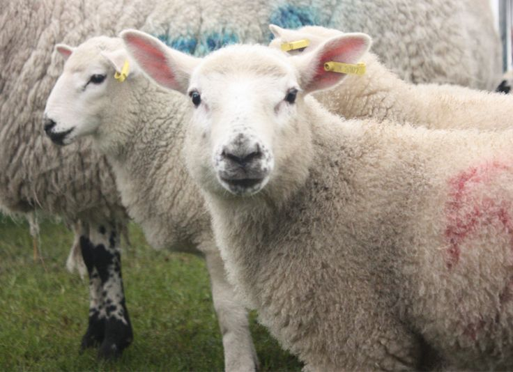 MAKING THE MARROW - PHOTOS - A trip to the Surrey County Show in Guildford, England.   Surrey County Show - Parsley, Sage, Rosemary and Rain #Sheep #Lamb