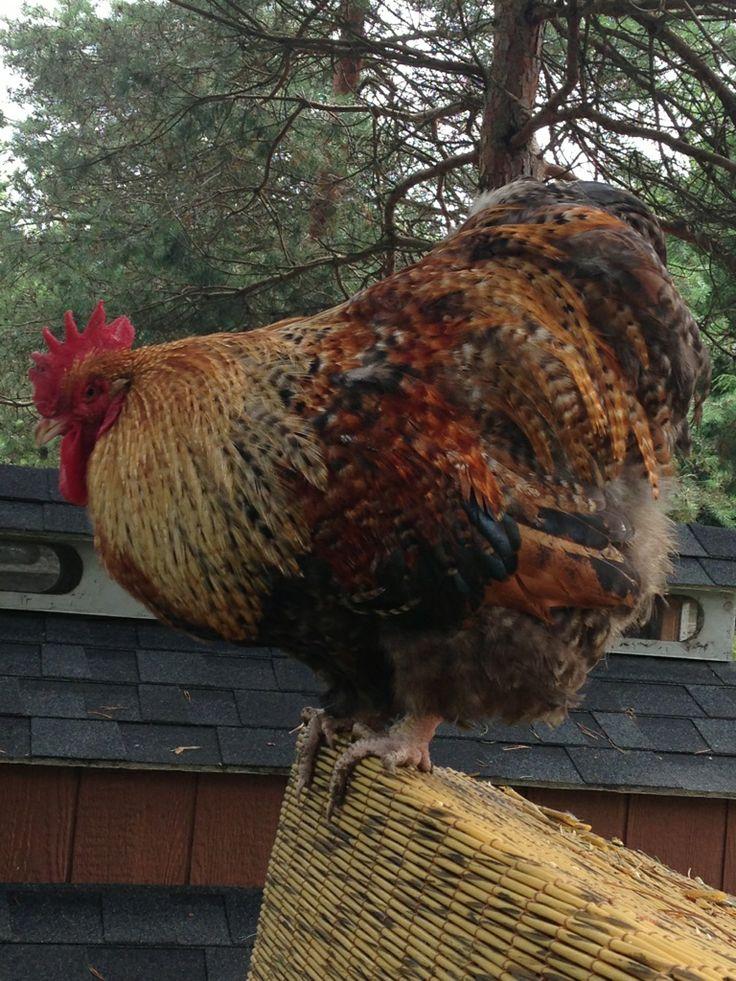 Rare Chicken Breeds | ... Orpington (100% Pure English Import) | Margitas Rare Poultry Breeds