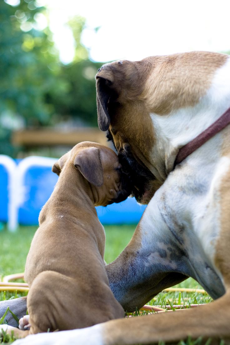 boxersDoggie Sons, Doggie Daddy, Boxerspet Girls, Boxers Puppies, Boxers Dogs, Adorable, Animal, Pets Products, Boxersbest Dogs