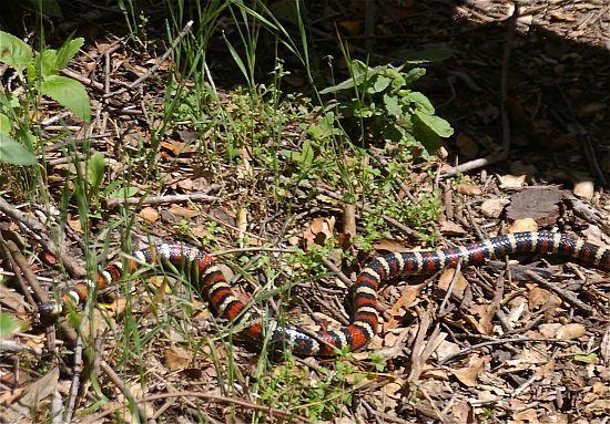 King Snake. Santa Barbara, California