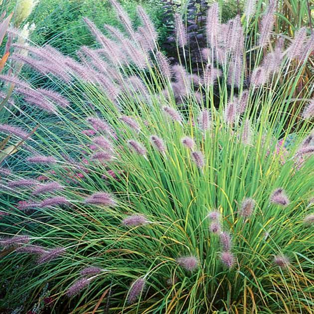 Pennisetum alopecuroides 39 hameln 39 one of my favourite for Hardy tall ornamental grasses