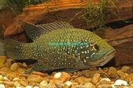 Starry Night Cichlid - Paratilapia bleekeri - Gunpowder Aquatics