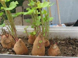 17 Plants You Grow from Kitchen Scraps - blackthumbgardener.com