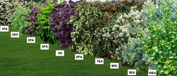 haie fleurie mellif re en racines nues pr sentation jardin pinterest haies racines et. Black Bedroom Furniture Sets. Home Design Ideas
