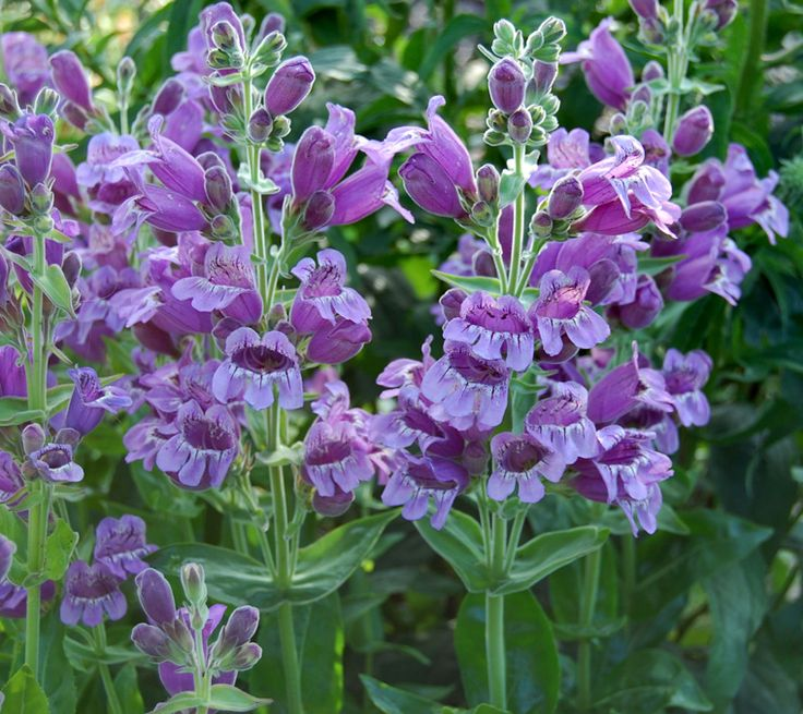 Purple Ozark penstemon (Penstemon cobaea, Zones 5 to 8) grows 30 inches tall with glossy foliage. Its lavender-purple flowers are so large that bumblebees fit comfortably inside them.