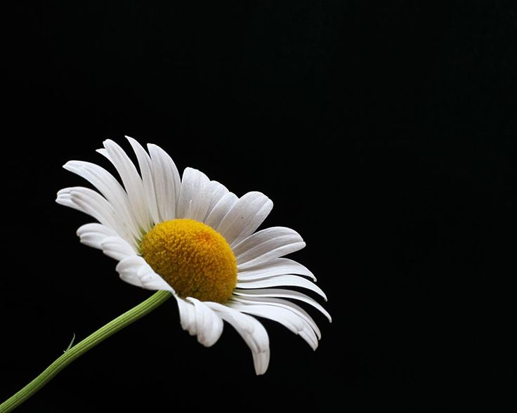 daisy flower picture
