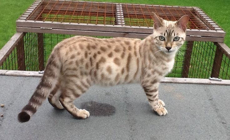 Lost Bengal cat Penrith http://www.cumbriacrack.com/wp-content/uploads/2017/04/Missing-Penrith.jpg Willow went out last night and hasn't returned home. He never strays far from the house He is microchipped and neutered Any information please call 07792912059 Very distinct markings so easily recognisable    http://www.cumbriacrack.com/2017/04/02/lost-bengal-cat-penrith/