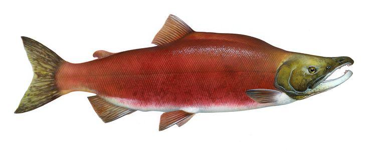 Salmon run - Wikipedia, the free encyclopedia