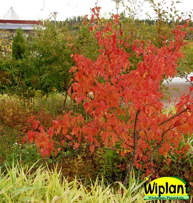 Acer ginnala, ginnalalönn. Fin gulorange-röd höstfärg. Höjd: 2-4 m.